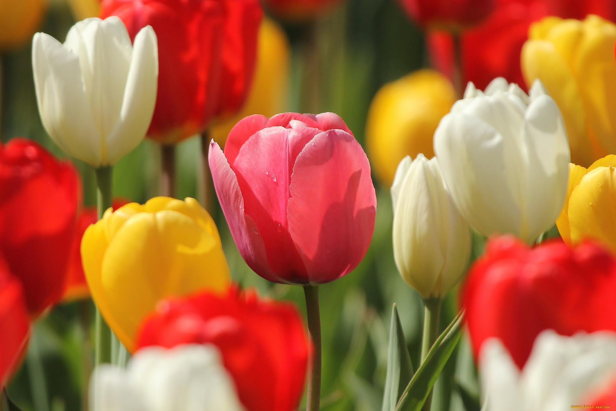 самых красивые картинки на рабочий стол весна тюльпаны приложение мягкого кинотеатра